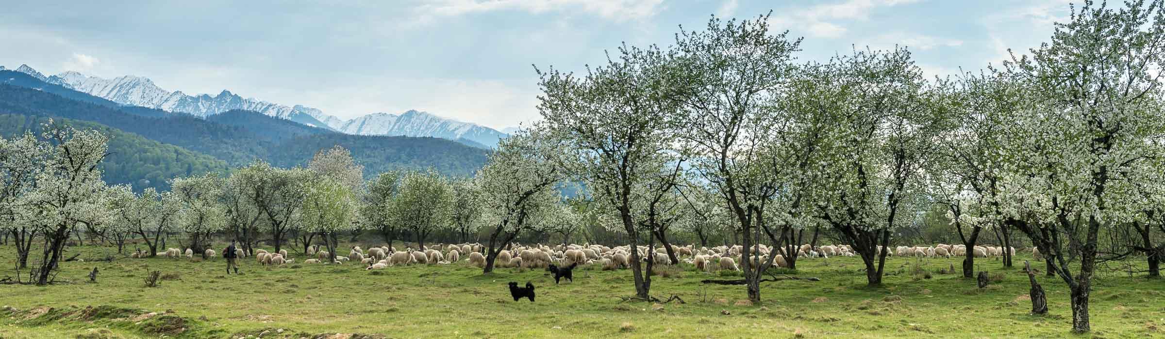 Schafsherde - Fotoreise Siebenbürgen Rumänien